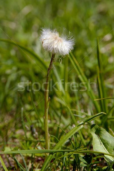 Stock photo: single dandelion