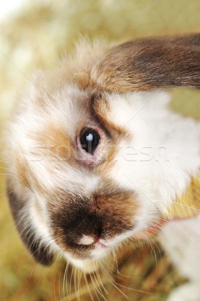 кролик сено пушистый Ложь мягкой фон Сток-фото © taden