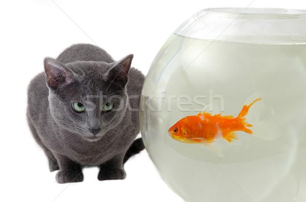 cat looking at fish in the aquarium Stock photo © taden