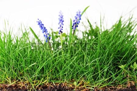 Giacinto fiore crescita erba verde erba natura Foto d'archivio © taden