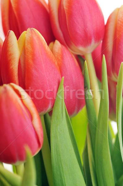 赤 チューリップ 花束 多くの 花 自然 ストックフォト © taden