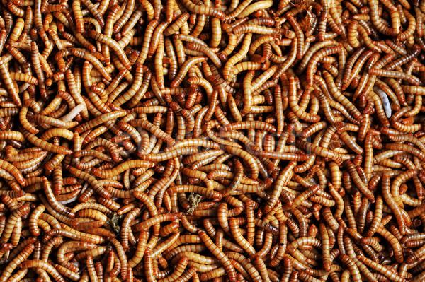 many  larvae Stock photo © taden
