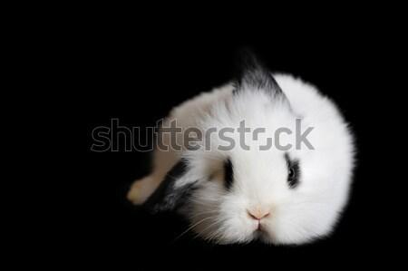 Bella coniglio piccolo nero party ritratto Foto d'archivio © taden