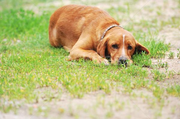 коричневая собака большой трава природы лет области Сток-фото © taden