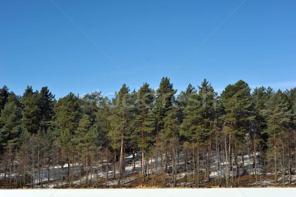 зима день лес Blue Sky пейзаж снега Сток-фото © taden