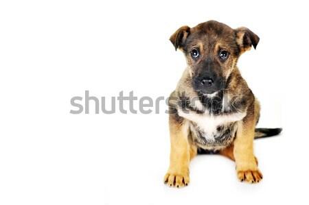 Perro marrón sesión pelo animales estudio hermosa Foto stock © taden