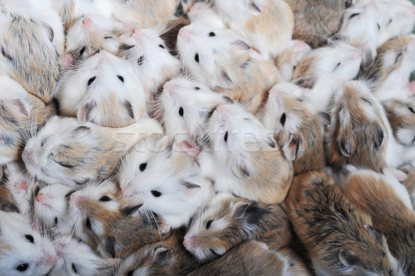 many hamsters top view Stock photo © taden