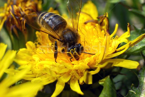Abelha mel de abelha mel flor primavera Foto stock © taden