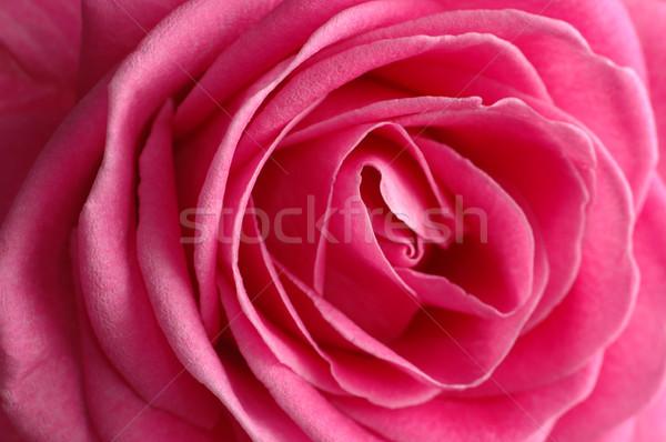 pink rose  Stock photo © taden