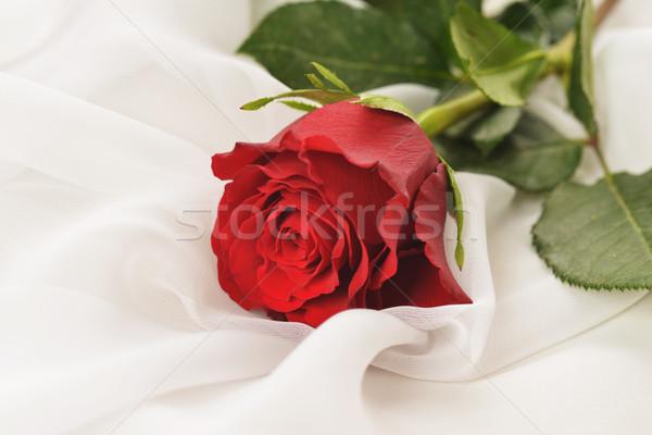 красную розу белый шелковые изолированный свет завода Сток-фото © taden