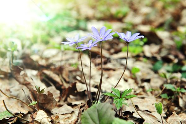 Virágzó tavasz erdő tisztás levél szépség Stock fotó © taden