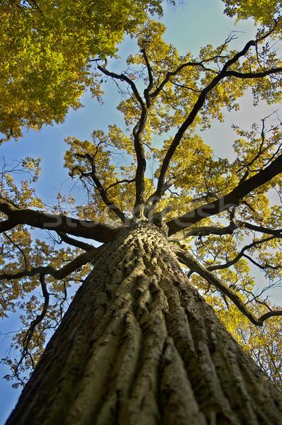 Roble amarillo cielo azul forestales árboles verde Foto stock © taden