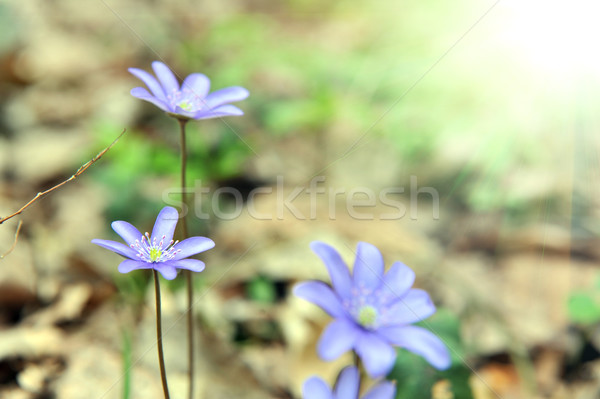 Primavera forestales claro hoja belleza Foto stock © taden