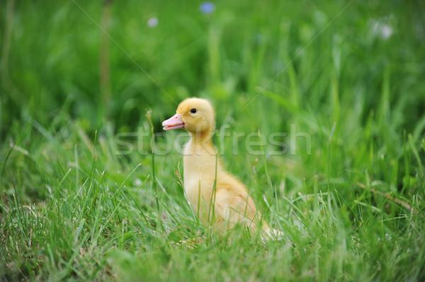duckling on green grass Stock photo © taden