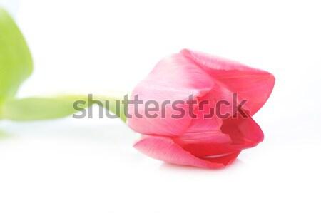 Rood tulp een geïsoleerd bloemen Stockfoto © taden