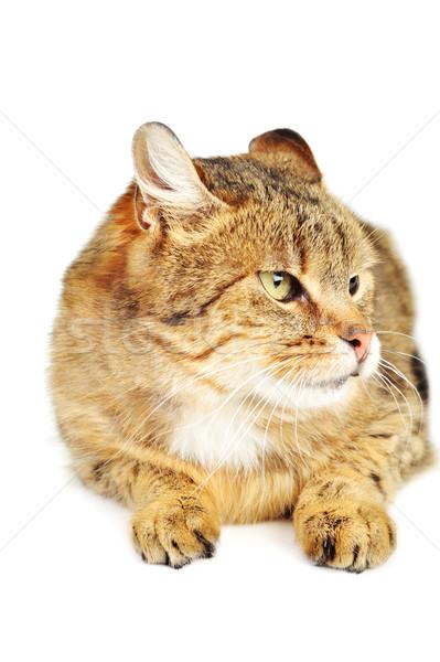 Házimacska aranyos izolált macska haj portré Stock fotó © taden
