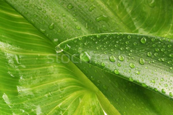 Zielony liść kropla wody wody roślin spadek Zdjęcia stock © taden
