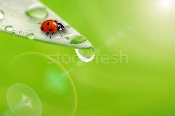Fényes zöld levél katicabogár vízcsepp közelkép víz Stock fotó © taden