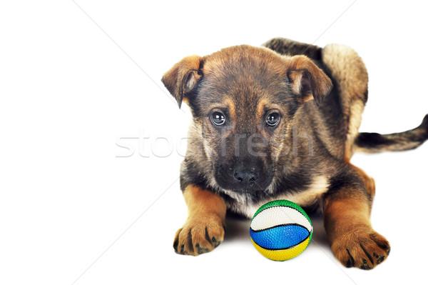Brązowy pies włosy zwierząt studio piękna zwierzęta Zdjęcia stock © taden