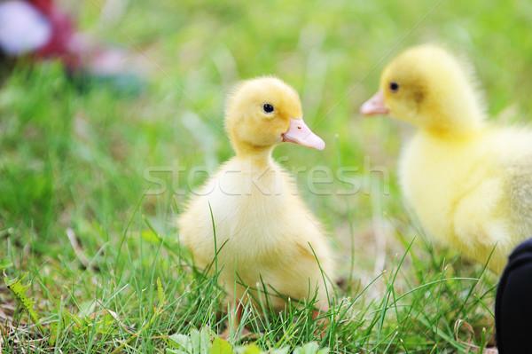 Stockfoto: Twee · pluizig · kuikens · groen · gras · gras · kind