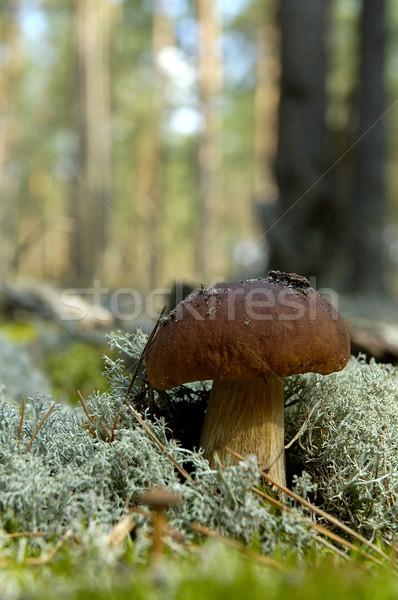 Mantar bir mantar türü orman ağaç ahşap Stok fotoğraf © taden
