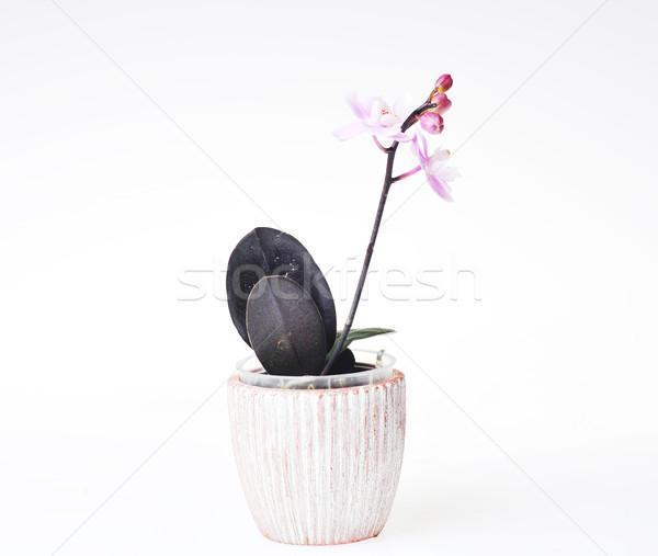 美しい 蘭 植木鉢 花 美 ストックフォト © taden