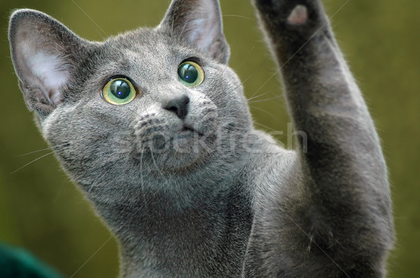 russian blue cat Stock photo © taden