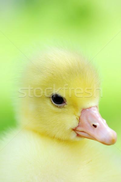 Küçük ördek yavrusu yeşil açık bahar Stok fotoğraf © taden