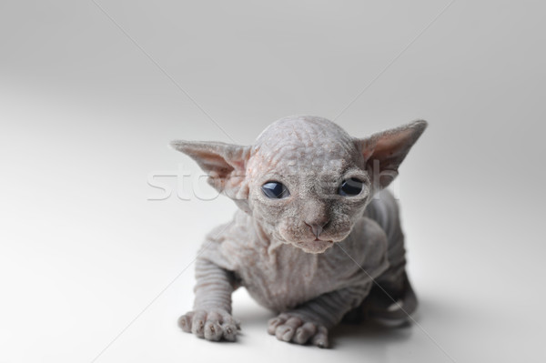 cute bald baby cat  Stock photo © taden