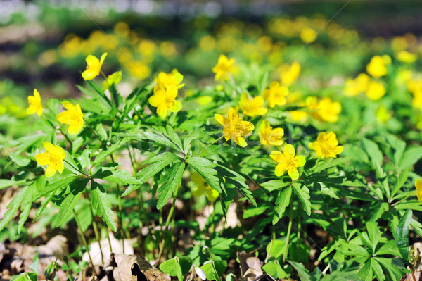 Flores amarelas florescimento primavera verde cor planta Foto stock © taden