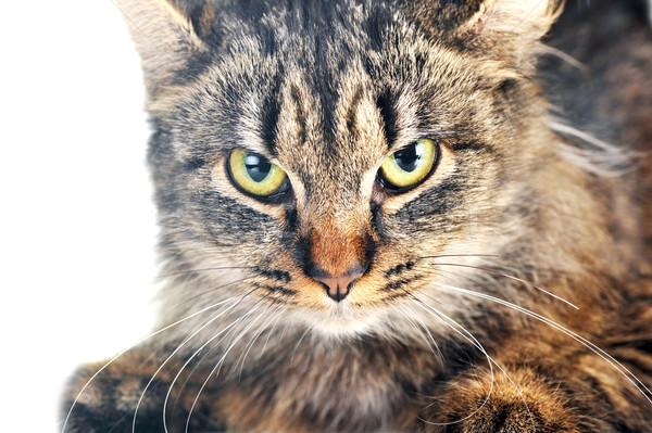 Grijs gestreept kat geïsoleerd haren Stockfoto © taden