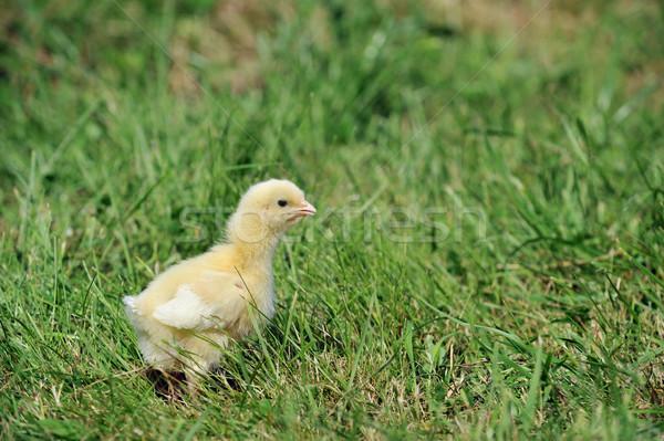 Chick erba verde vecchio erba bambino Foto d'archivio © taden