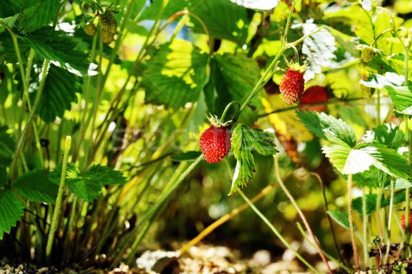 イチゴ 茂み 野イチゴ 村 庭園 食品 ストックフォト © taden