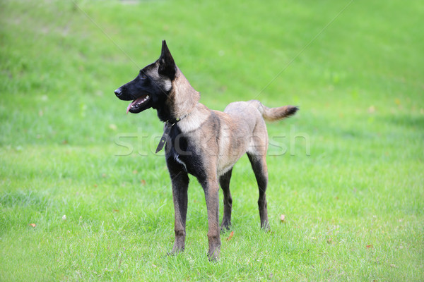 belgian malinois Stock photo © taden