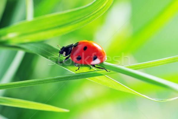 Coccinelle herbe courir lame herbe verte belle Photo stock © taden