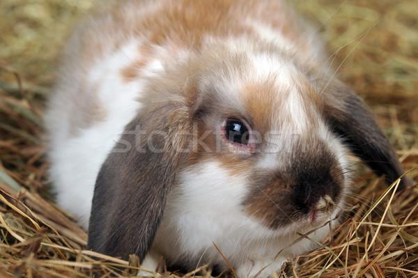 Tavşan saman kabarık lies yumuşak arka plan Stok fotoğraf © taden