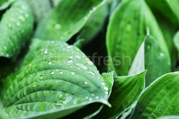 Zöld levelek növény közelkép víz levél nyár Stock fotó © taden