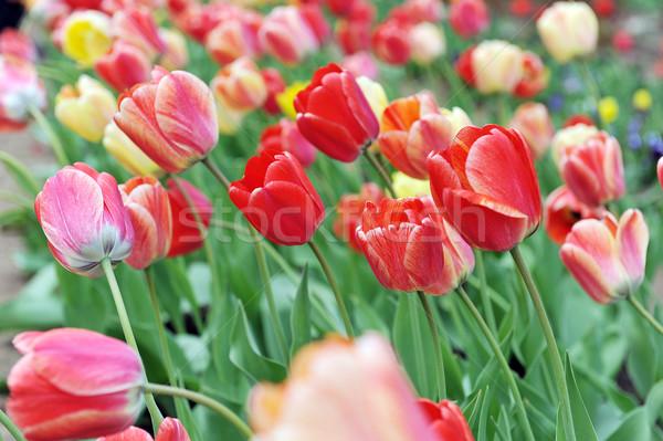 Czerwony tulipany ilość typowy krajobraz Zdjęcia stock © taden