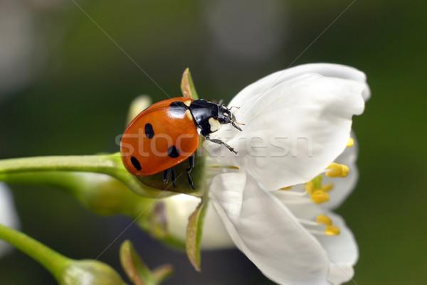 Foto stock: Mariquita · flor · blanca · pie · primavera · naturaleza · jardín