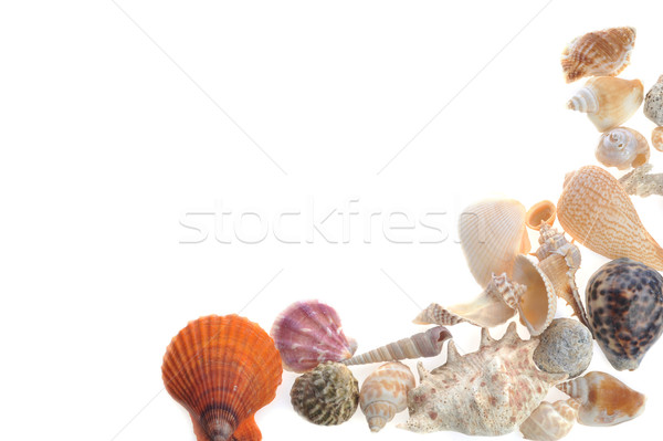 many sea cockleshells lies on white  Stock photo © taden