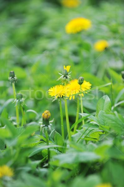 Pitypangok virágzó tavasz farm mező fű Stock fotó © taden