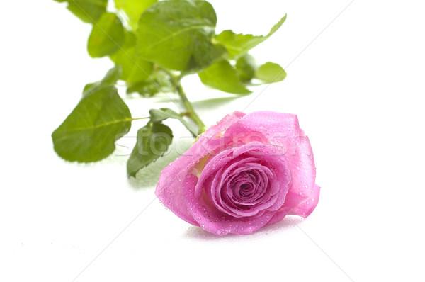 pink rose macro Stock photo © taden