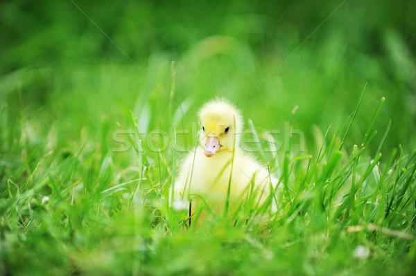 ördek yavrusu yeşil ot eski keşfetmek çim çocuk Stok fotoğraf © taden