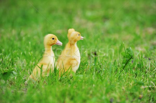 Dwa puszysty pisklęta zielona trawa trawy dziecko Zdjęcia stock © taden