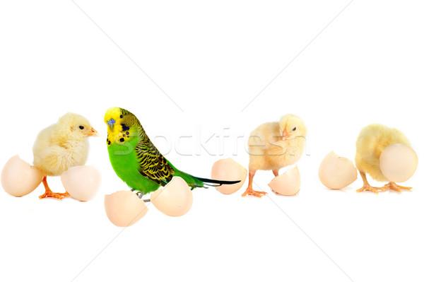 Fofo frango três pequeno bonitinho concha Foto stock © taden