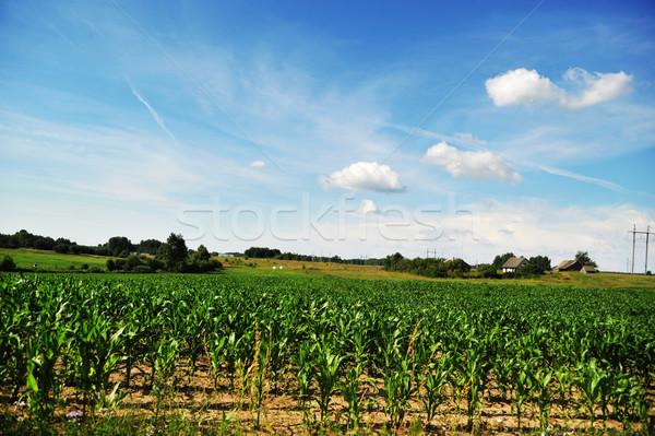 Campo mais impianti giovani cielo blu Foto d'archivio © taden