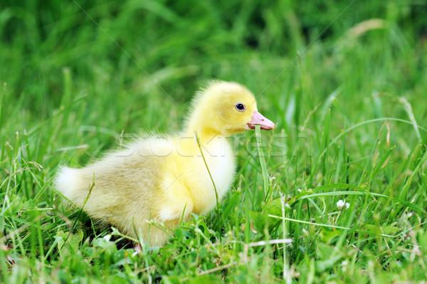 Eendje groen gras oude gras kind Stockfoto © taden