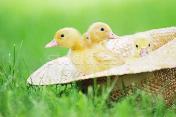 fluffy  ducklings Stock photo © taden