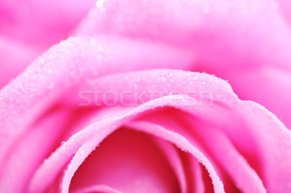 ピンクのバラ 桜 美しい 花 工場 ストックフォト © taden