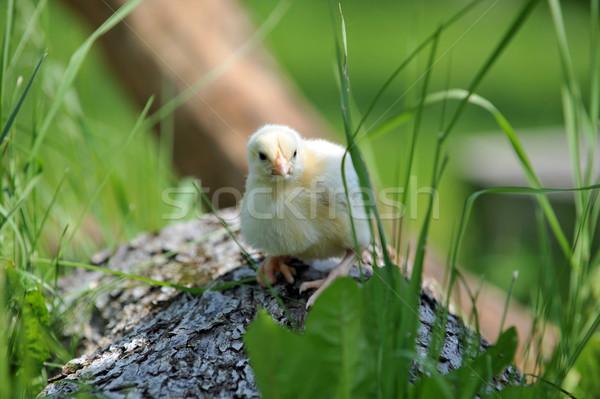 Pelucheux chiches arbre printemps herbe enfant Photo stock © taden